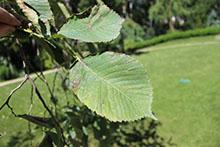Ржавые пятна на листьях деревьев