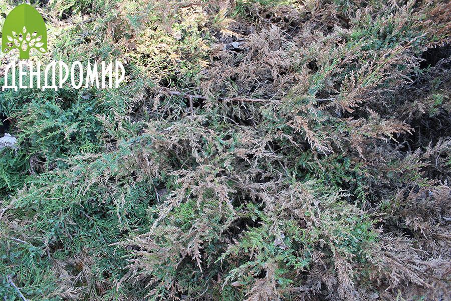 болезни можжевельника фото