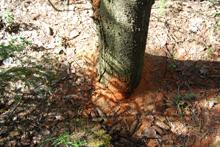 Опилки от вредителя короеда под деревом
