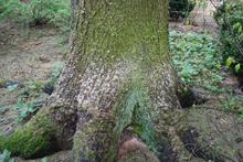 Опилки от усача под елью
