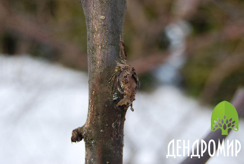 Обрезка яблони весной схема.