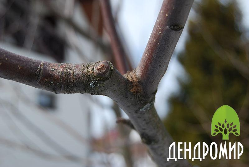 Здоровые и сочные плоды яблони.